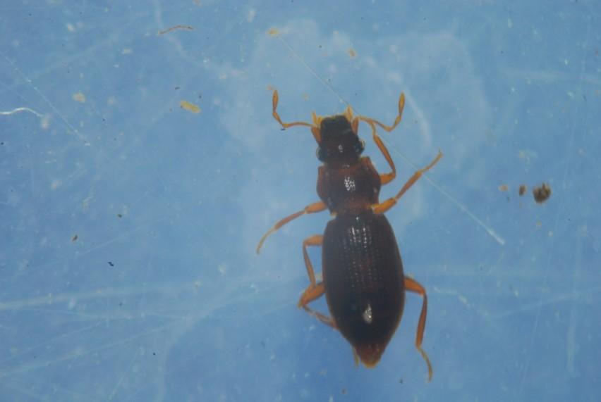 Hydraenidae
